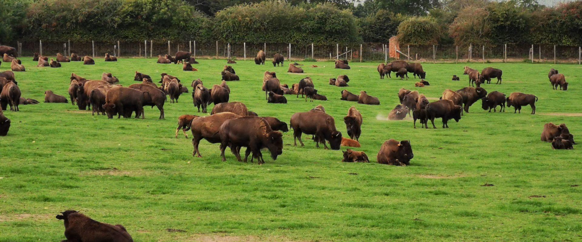 Rêve de bisons (57 km/autoroute)